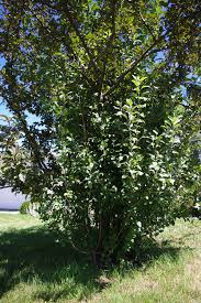 crabapple pruning in four easy steps overgrown no more