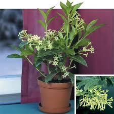 Fragrant Jasmine Plant - night blooming jasmine cestrum nocturnum