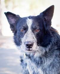 australian shepherd trackid sp 006 adopt a dog or cat or pet from the milo foundation animal rescue