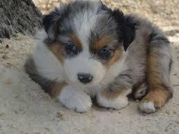 australian shepherd gray douglas gale australian shepherd puppies for sale