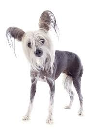 afghan hound breeders qld chinese crested breeders australia chinese crested info u0026 puppies