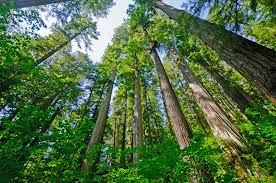the archangel tree project plants its cloned redwoods in