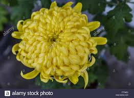 chrysanthemums are also called mums or chrysanths tbhey are
