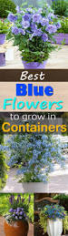 Best Flowers For Small Pots Best Blue Flowers To Grow In Containers Balcony Garden Web