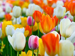 Images Of Tulip Flowers - tulip pictures images and stock photos istock