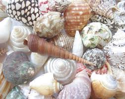 assorted seashells umbonium black seashells approx 250 pieces small sea