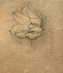 a tulip sketch on an old paper stock photo picture and royalty
