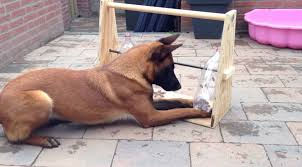 belgian sheepdog ontario hungry dog was eating too fast so he built an ingenious game to