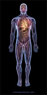 Human Anatomy Anterior Human Anatomy Diagram 3d Human Anatomy Educational Resource 3d