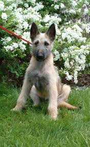 belgian sheepdog price in india the 25 best laekenois ideas on pinterest malinois malinois dog