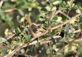 Scrub Vire scrub greenlet hylophilus flavipes ref phma197789