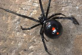 black widow spiders found in grapes in multiple states daily