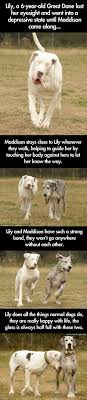 Great Dane Meme - blind great dane and her guide dog the meta picture