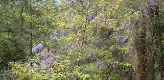 Non Invasive Climbing Plants - native alternative to invasive imported wisteria today u0027s homeowner