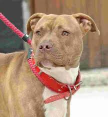 american pitbull terrier illegal woman told she can keep illegal dog if she complies with strict