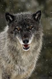 best 25 grey wolves ideas on pinterest wolf eyes wolves and