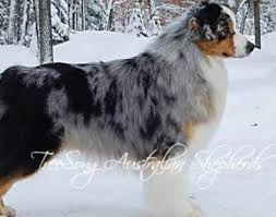 images of australian shepherd picture 3 of 3 australian shepherd pictures u0026 images animals