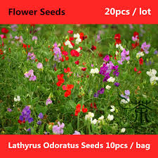 sweet peas flowers brightly colored lathyrus odoratus seeds 20pcs aromatic scent