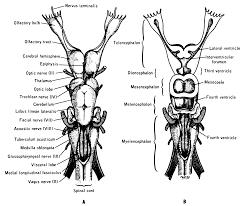 Cranial Nerves Worksheet Comparative Anatomy Evolution Images Learn Human Anatomy Image