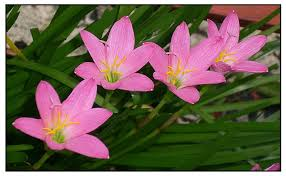 zephyranthes rosea philippine medicinal