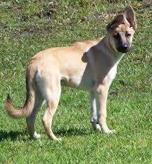 belgian shepherd short hair marley as a 4 month old puppy german shepherd belgian malinois