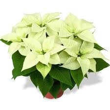 poinsettia white 10