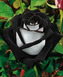 black roses black alain r truong