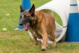 belgian malinois police dogs compete in honor of national police week u003e 913th airlift