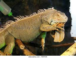 terrarium lizard stock photos u0026 terrarium lizard stock images alamy