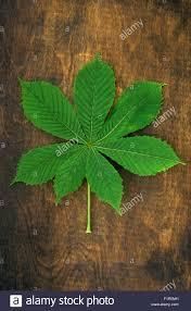 single large leaf with seven leaflets of spring green horse