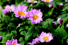 anemone plant anemone for sale buy japanese anemone japanese anemone