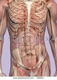 Human Body Muscles Images Anatomically Correct Medical Model Human Body Stock Illustration