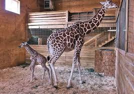 s day giraffe april the giraffe story today happy s day april the