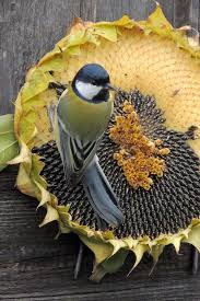best 25 sunflower seeds for birds ideas on pinterest homemade