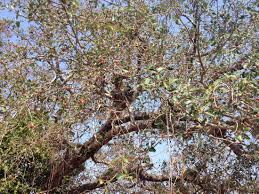 can you identify this big tree with berries snaplant