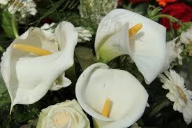 Calla Lillies Growing Calla Lily Flower U2014 Calla Lily Care