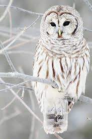 25 white owls ideas snowy owl owls baby owls