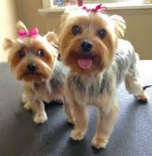 yorkie hair cut chart yorkshire terrier snacks and treats best choices
