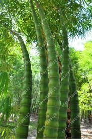 bamboo seeds moso bamboo seeds bambusa vulgaris wamin