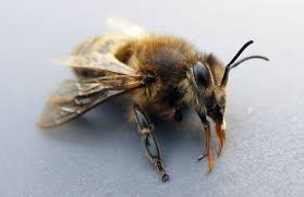 bee on macro photography free stock images by libreshot