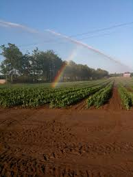 irrigated corn sweet corn hand melon farm