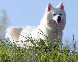 miniature american eskimo dog life expectancy american eskimo dog dog breed gallery