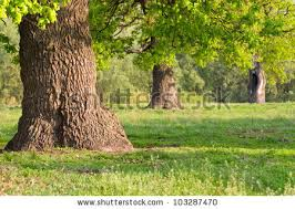 thick tree stock images royalty free images vectors