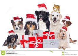 group of pedigree dogs with christmas gifts with santa hats stock
