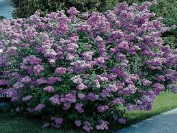 Flowering Shrubs That Like Full Sun - evergreen shrubs that flower 7348