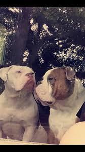 australian shepherd zucht bayern die besten 25 alte englisch bulldogge ideen nur auf pinterest