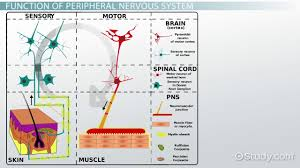 peripheral nervous system definition function u0026 parts video