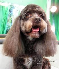 Do Cockapoo Dogs Shed A Lot by Grooming Your Furry Friend Does A Poodle Have To Be Groomed Like