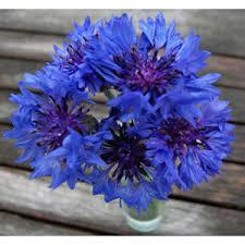 cornflower blue organic non gmo cornflower blue boy bachelor s buttons 3 50