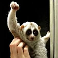 Victory Meme - slow loris victory pose with uc know your meme